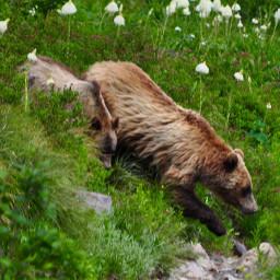 montana bears hikingadventure freetoedit