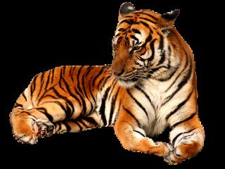 freetoedit jungle nature tiger tigers