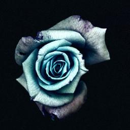 freetoedit rosa