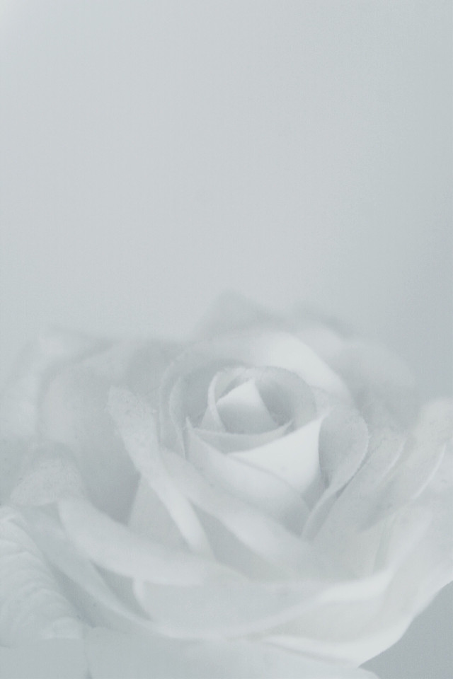 #flowers #naturesbeauty #rose #whiterose #moodyedit #softcontrast #lightart #monochromatic #monotone #monochromephotography                                                                        #freetoedit