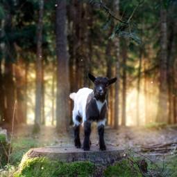 natural little goat sunrise freetoedit