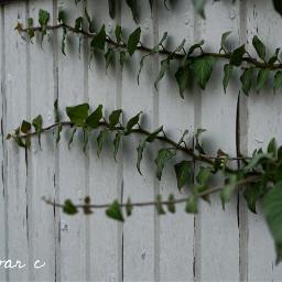 leaves nature plant olddoor green