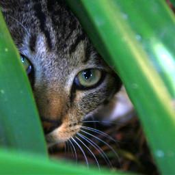 freetoedit steve kittylove kitty kitten pcgreenminimalism greenminimalism