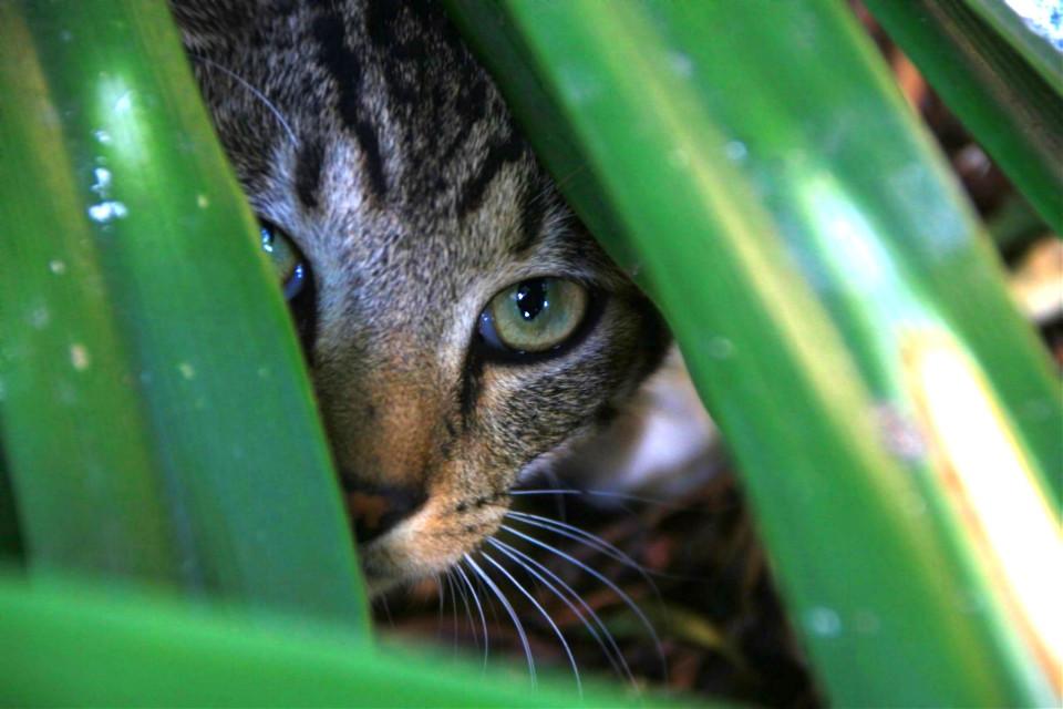 Jungle cat❤️🌲  #freetoedit #steve #kittylove #kitty #kitten #cat #catto #catlover #catsofpicsart #catove #catslife #kittycat #kittyeyes #kittenface #tabby #tabbykitten #likeforlile #mypet #featureme #feature #featurethis #petphotography #photography