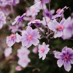 nature flower flowers backround purple freetoedit