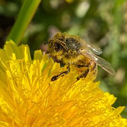 nature dandelions dandelion bee pollen freetoedit