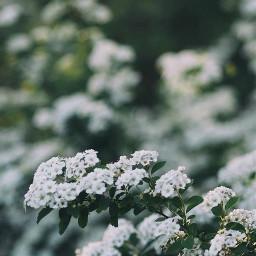 nature plantsandflowers flowerybushes whiteflowers depthoffield freetoedit