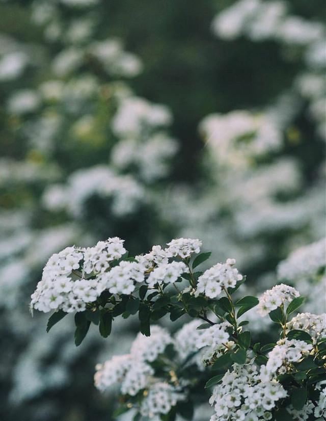 #nature #plantsandflowers #flowerybushes #whiteflowers #depthoffield #naturephotography   #freetoedit