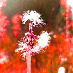 freetoedit dandelion nature soft flower