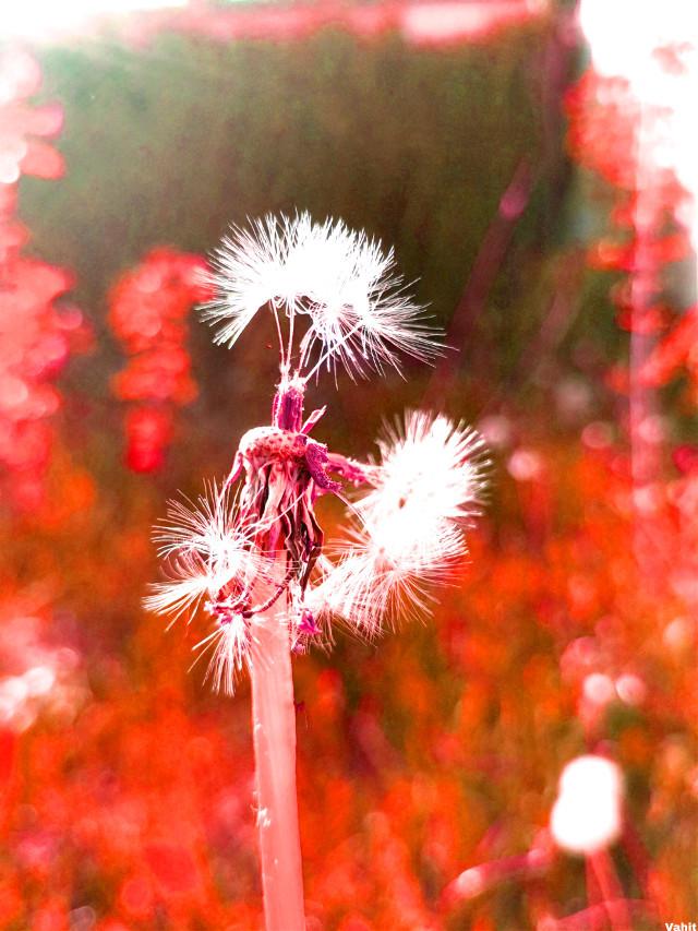 #freetoedit #dandelion #nature #soft #flower #plant #myphotography  #myedit