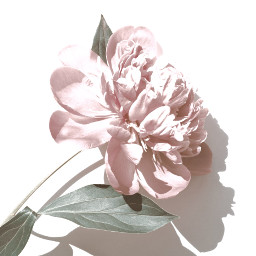 freetoedit beautiful pink flower