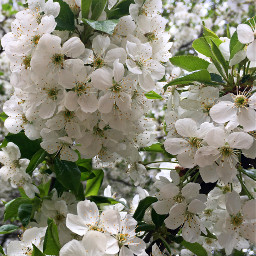 photography flowers spring nature tree freetoedit