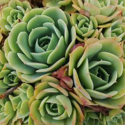 suculents nature pcgreenminimalism greenminimalism