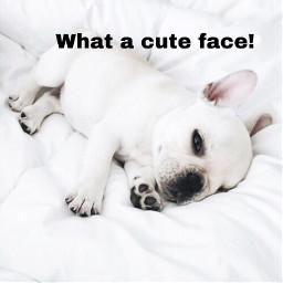 freetoedit frenchbulldog cutedogs cutefaces crazydog