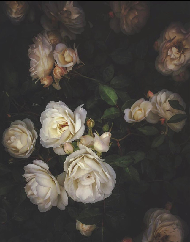 #nature #flowers #roses #naturesbeauty #whiteroses #darkaesthetic #moodyedit #naturephotography   #freetoedit