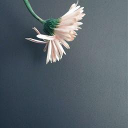 minimalism flower daisygerbera singleflower upsidedown freetoedit