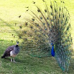 peacocks spring cocky