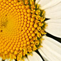 freetoedit photography macro daisy flower