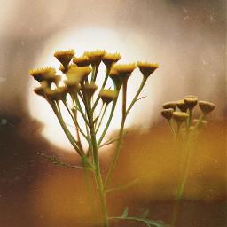 nature plantsandflowers wildflowers bokeh softcontrast freetoedit