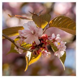 cherryblossom spring nature freetoedit