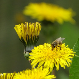 freetoedit followme dandelions bees insect
