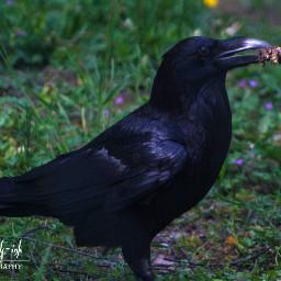 freetoedit photography raven bird nature