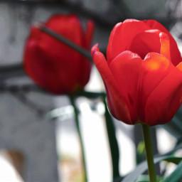 freetoedit flowers beauty