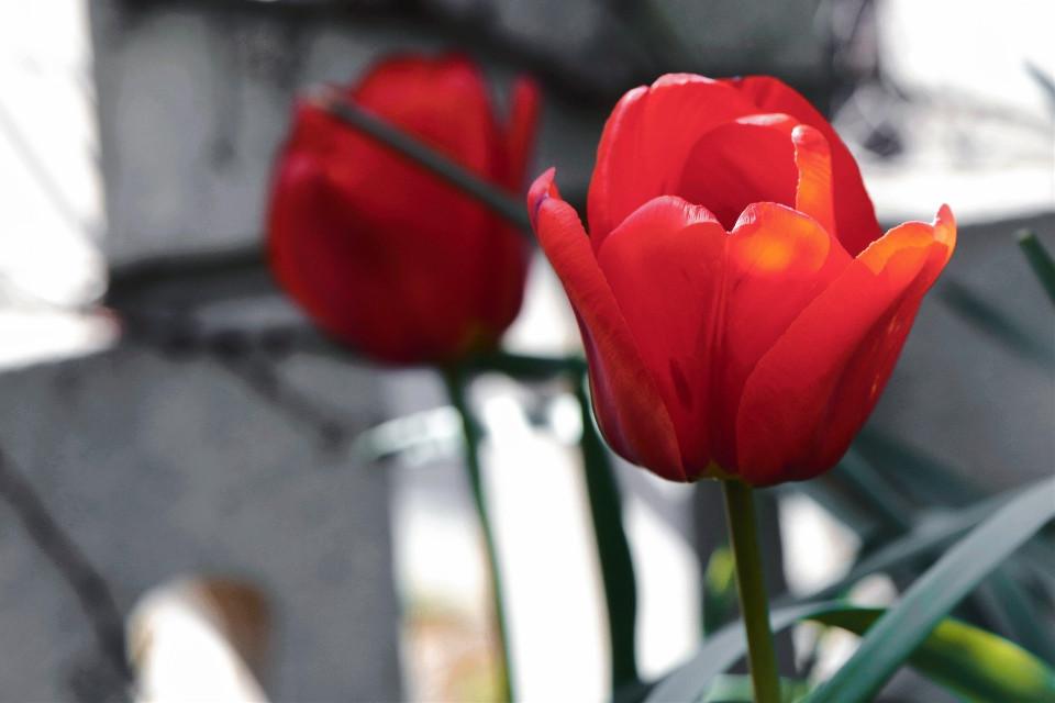 #freetoedit #flowers #beauty