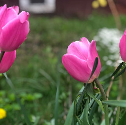 tulips pink nature spring backgrounds freetoedit
