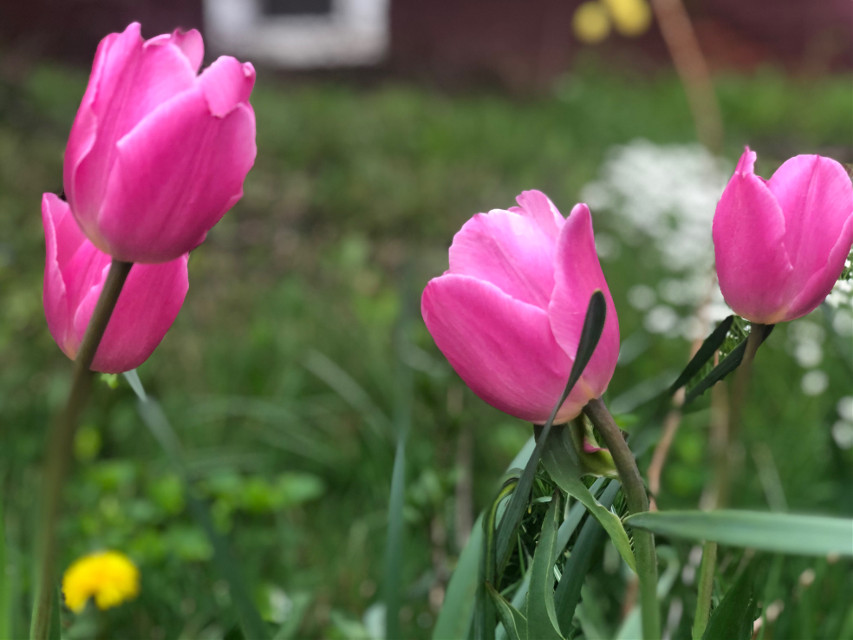 Looks like a Happy Dance 🌷 I think we could use a little. Stay well friends #tulips #pink #nature #spring #backgrounds #floralcanvas #freetoedit