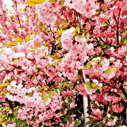 cherryblossom pink rose nature spring