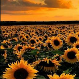 sungoesdown sonnenblumen 4upage beautiful landscapes