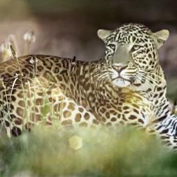 freetoedit leopardprint wildlife inthegrass relaxing