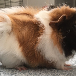 guineapig sweet cutie photography nofilter