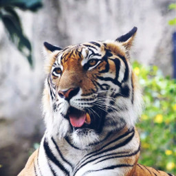 tiger foryou freetoedit