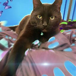 freetoedit cat blackcat mybaby love