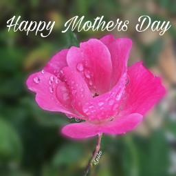freetoedit happymothersday pinkrose rose template
