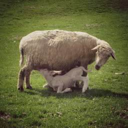 mom baby sheep lamb pccelebratingmom