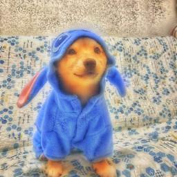 freetoedit shibainu shibe dogs pets
