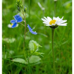 flowers wildflowers meadow nature freetoedit
