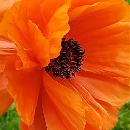 freetoedit nature poppy redorange flower