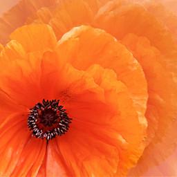 poppy orange colorful background closeup freetoedit