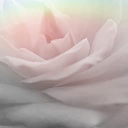 flower rose white maskeffect prism freetoedit