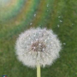 freetoedit followme dandelions nature naturephotography
