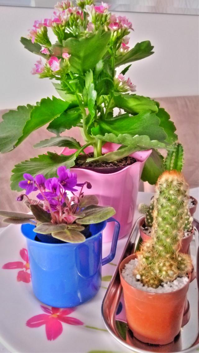 #flowers #violet #kalanchoe #cactus #nature #flowerlovers #loveit