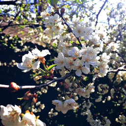 cherryblossom💐 cherryblossom