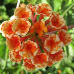 freetoedit lantana orange orangeflower macrophotography