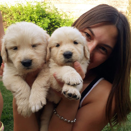 goldenretriever dogs pcmypetandi mypetandi