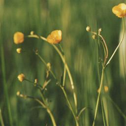 freetoedit wildflowers nature spring yellow