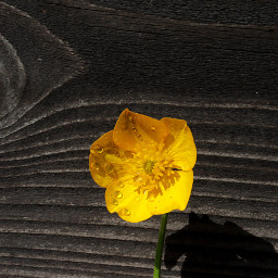 flower wildflowers buttercup colourful outandabout freetoedit